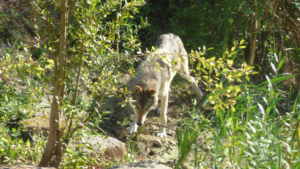 Journée du loup à la Pyramide du Loup