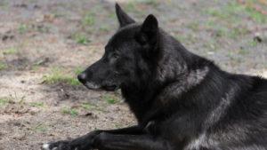 Le loup noir