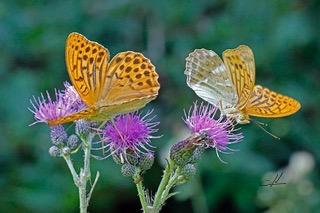 Photos d'Yves Necker Papillons
